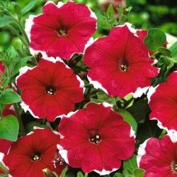 Petuunia Iluzja - Punane - Petunia hyb. multiflora nana - seemned