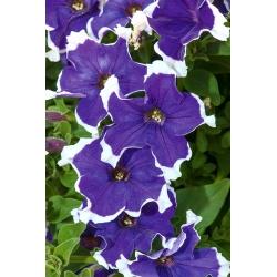 "Garden petunia ""Illusion (Iluzja)"" - blue"