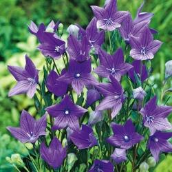 Platycodon, hoa Balloon - Fuji Blue; Hoa chuông -