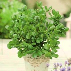 Mini garden - Common purslane - for balcony and terrace cultivation; verdolaga, red root, pursley