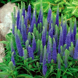 Veronica, Speedwell Blue - củ / củ / rễ - Veronica spicata