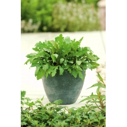 Mini Garden - Arugula - for cultivation on balconies and terraces; rocket