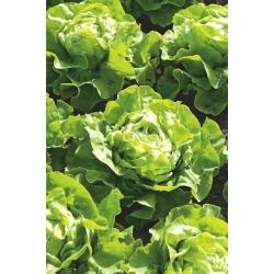 """Butterhead lettuce """"Lento"""" - SEED TAPE"""