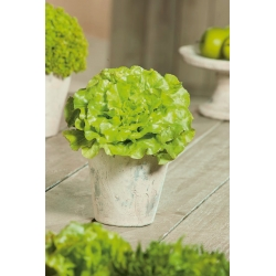 Mini Garden - Lettuce for cut leaves - green, smooth-leaved variety - for balcony and terrace cultivation