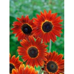 Harilik päevalill - Evening Sun - 50 seemned - Helianthus annuus