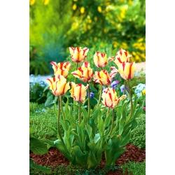 Tulipa Flaming Parrot - Tulip Flaming Parrot - 5 bulbs