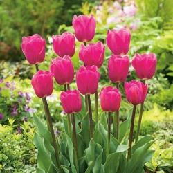 Tulipa Rose - Tulip Rose - 5 bulbs
