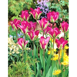 Tulipa Violet Bird - paquete de 5 piezas