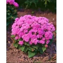 """Flossflower """"Pink Ball"""" - pink; bluemink, blueweed, pussy foot, Mexican paintbrush - 2160 seeds"""