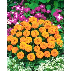 """French marigold """"Valencia"""" - low growing variety - 315 seeds"""