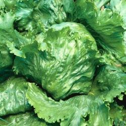 """Iceberg lettuce """"Great Lakes 118"""" - dark green leaves - 2400 seeds"""