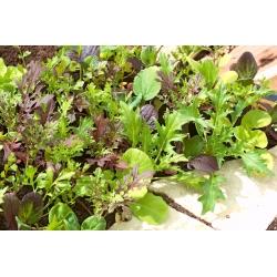 Miniaed - aromaatsed lehed - rõdu- ja terrassikultuuride jaoks -