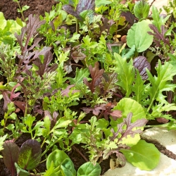 Mini garden - Aromatic leaves - for balcony and terrace cultures