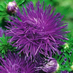 Purple needle petal china aster, Annual aster - 500 seeds