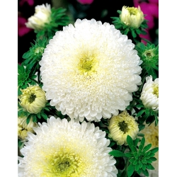 "Princess aster ""Balbinka"" - 450 seeds"