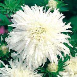 Chrysanthemum-flowered aster - white-flowered - 450 seeds