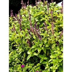 Cinnamon Basil seeds - Ocimum basilicum - 325 seeds