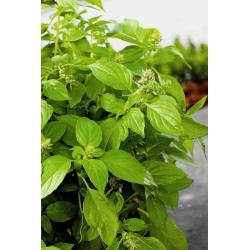 Basil Fine Verde seeds - Ocimum basilicum - 325 seeds