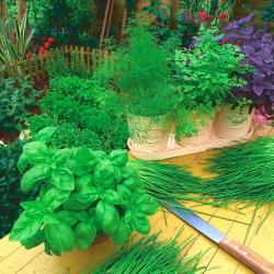 3 in 1 - Basil, chives, leaf parsley - SEED DISC - 3 seeds
