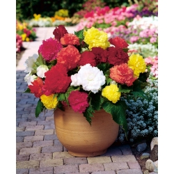 Begonia Fimbriata Mix - 2 bulbs