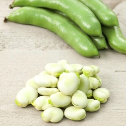 "Broad bean ""Bonzo"" - early variety, for accelerated culture"