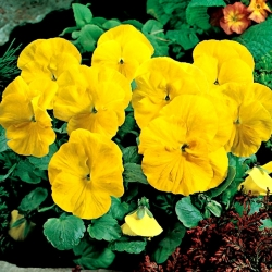 Árvácska fajták - Goldgelb, Coronation Gelb - sárga - 400 magok - Viola x wittrockiana
