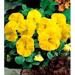 Фиа́лка Ви́ттрока - Goldgelb, Coronation Gelb - желтый - 400 семена - Viola x wittrockiana