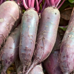 """Beetroot  """"Regulski Cylinder"""" - tasty variety for direct consumption and for preserves - 500 seeds"""