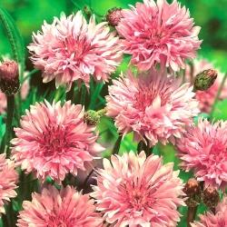 "Cornflower, Bachelor's button ""Classic Romantic"" - 250 semen - Centaurea cyanus  - semena"