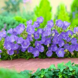 Tussock Bellflower, Carpathian Harebell - modrá odrůda - 6500 semen - Campanula carpatica - semena