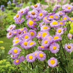 Aspen fleabane - egy eredeti, liliom-rózsaszín virág - Erigeron speciosus - magok