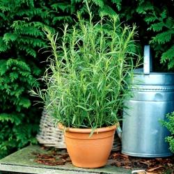 Tarragon seeds - Artemisia dracunculus - 500 seeds