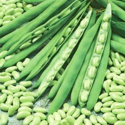 "Dwarf French bean ""Mona"" - flageolet-type variety"