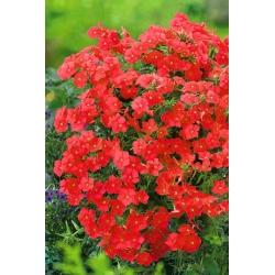 Red Drummond's phlox - 400 seeds