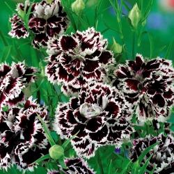 "Fainbow pink ""Chianti""; China pink - 110 seeds"