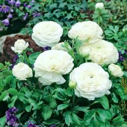 Лютик - белый - пакет из 10 штук - Ranunculus