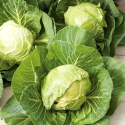 """White cabbage """"Fantasia"""" - for under cover and field cultivation - COATED SEEDS - 100 seeds"""