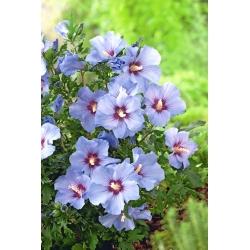 Kerti mályvacserje - Hibiscus syriacus - magok