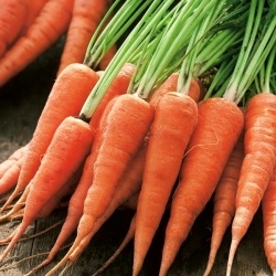 """Carrot """"Katrin"""" - Chantenay-type, very early variety for first culture under aggrotextiles - 2550 seeds"""