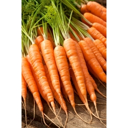 "Carrot ""Olympus"" - late, Flakkee variety - 4250 seeds"