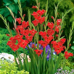 Gladiolas Atom - 5 gab. Iepakojums - Gladiolus