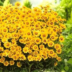 "Plains coreopsis ""Golden Dwarf""; garden tickseed, golden tickseed, calliopsis"