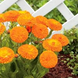 "Dwarf pot marigold ""Promyk"" - Calendula officinalis - benih"
