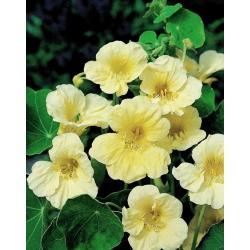 "Garden nasturtium ""Milkmaid""; Indian cress, monks cress - tall variety - 40 seeds"