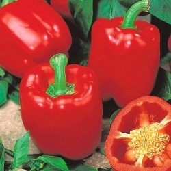 "Pepper ""Jolanta"" - medium early variety producing large, red, juicy fruit"
