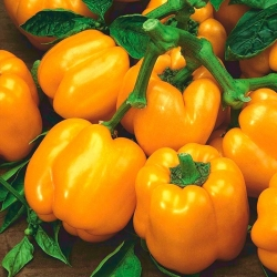 "Pepper ""Telimena"" - dark yelloww fruit with thick walls, for tunnel cultivation - 85 seeds"