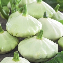 Patty Pan Squash Polo seeds - Cucurbita pepo - 24 seeds