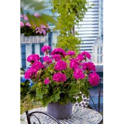 Gerānija - violets - 6 sēklas - Pelargonium L'Hér.