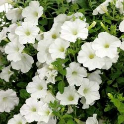 Petuunia - Cascada - valge - 160 seemned - Petunia x hybrida pendula