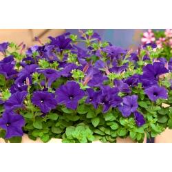 Petuunia Grandiflora - sinine - 80 seemned - Petunia x hybrida